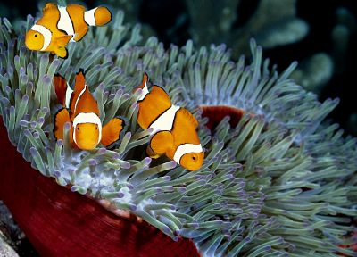 fish, clownfish, sea anemones, sea - desktop wallpaper