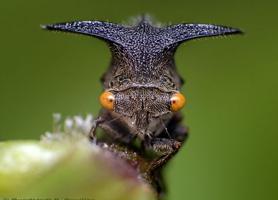 insects, treehopper - desktop wallpaper