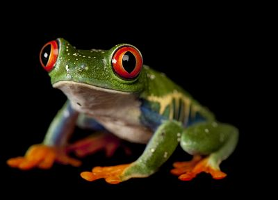 animals, frogs, Red-Eyed Tree Frog, amphibians - random desktop wallpaper
