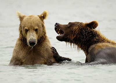 snow, animals, bears, brown bears - related desktop wallpaper