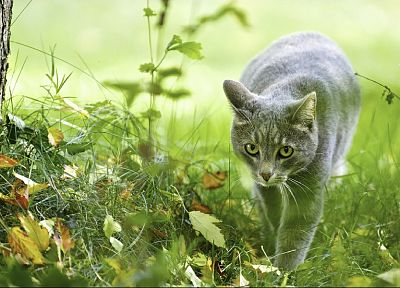 cats, animals, grass, grey - related desktop wallpaper