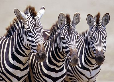 wildlife, zebras, Africa, Wild Africa - desktop wallpaper