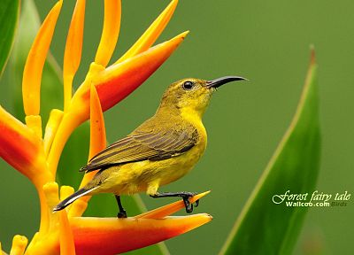 birds, animals, wildlife, Sunbirds - desktop wallpaper