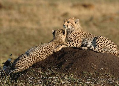 nature, animals, cheetahs, wild cats - related desktop wallpaper