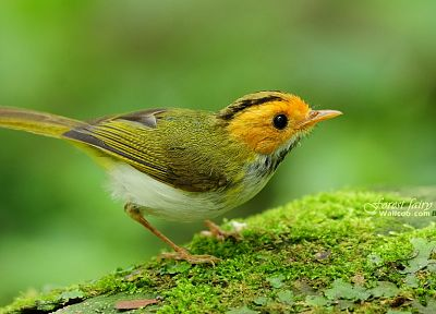 birds, animals, depth of field, Warblers - desktop wallpaper