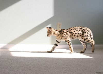 indoors, animals, sunlight, carpet, serval, wildcat - related desktop wallpaper