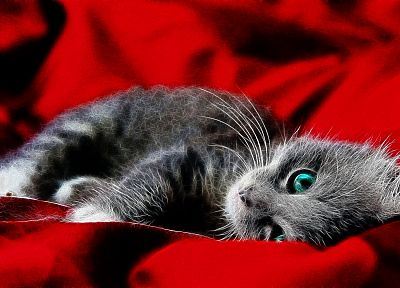 cats, blue eyes, red background - desktop wallpaper