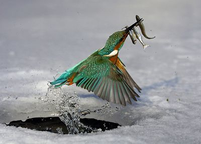 water, ice, birds, fish, kingfisher - related desktop wallpaper
