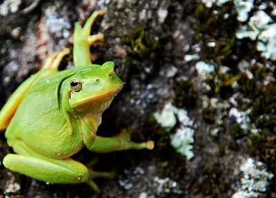 frogs, amphibians, tree frogs - random desktop wallpaper