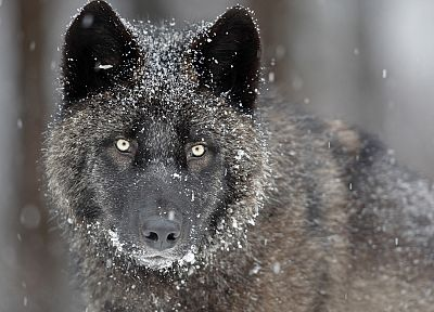 gray, wildlife, Canada, wolves - random desktop wallpaper