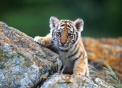 animals, tigers, baby animals - desktop wallpaper