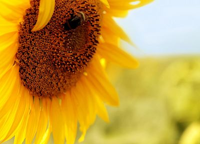 flowers, insects, bees, pollen, sunflowers, yellow flowers - related desktop wallpaper