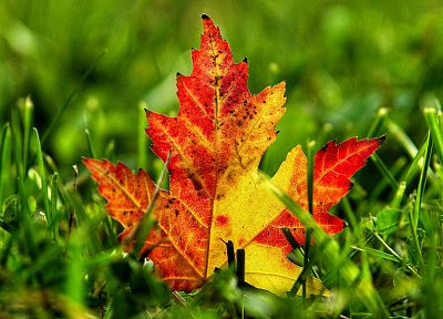 nature, autumn, leaves, grass, depth of field, fallen leaves - desktop wallpaper