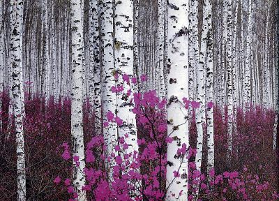 flowers, forests, plants, birch - desktop wallpaper
