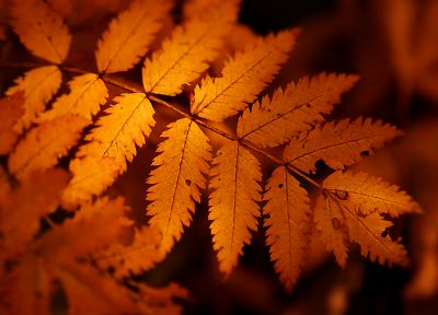 autumn, orange, leaves, macro - random desktop wallpaper