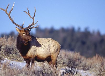 bull, Wyoming, Yellowstone, elk, National Park - random desktop wallpaper