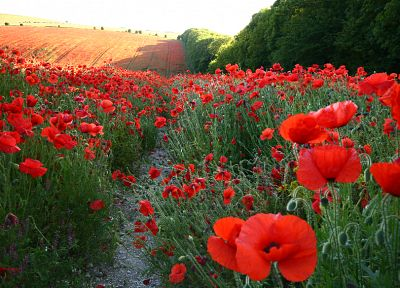nature, flowers, fields, poppy, red flowers - desktop wallpaper