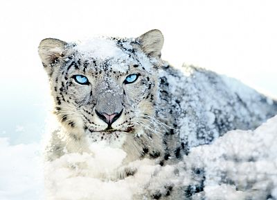 snow leopards - random desktop wallpaper
