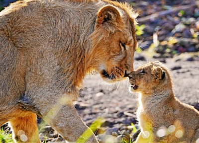 animals, cubs, lions, affection, baby animals - related desktop wallpaper
