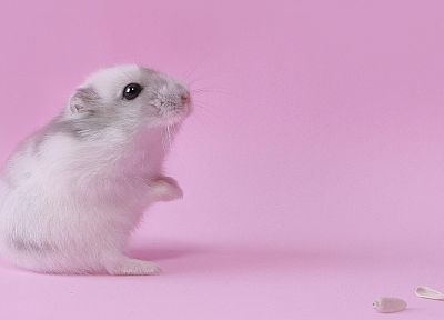 pink, animals, hamsters, black eyes - desktop wallpaper