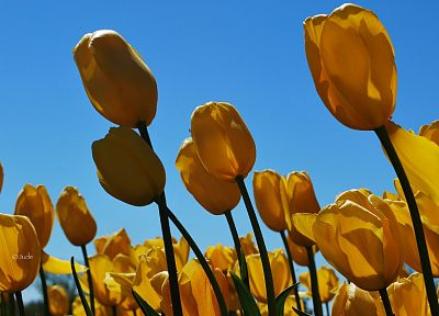 nature, flowers, tulips, yellow flowers - desktop wallpaper