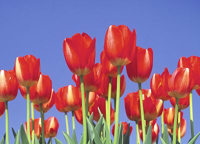 tulips - desktop wallpaper