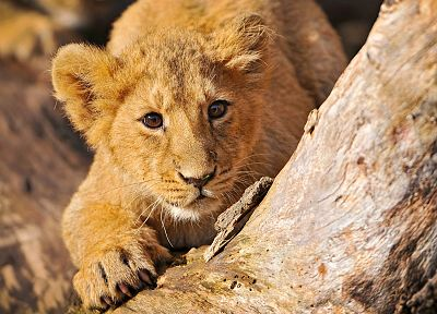 animals, feline, lions, baby animals - related desktop wallpaper