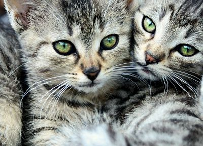 cats, animals, green eyes, kittens - related desktop wallpaper