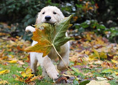 leaf, autumn, animals, puppies - desktop wallpaper