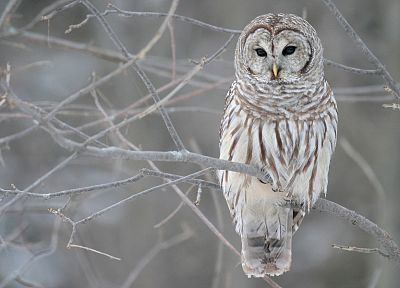 white, cold, owls - random desktop wallpaper