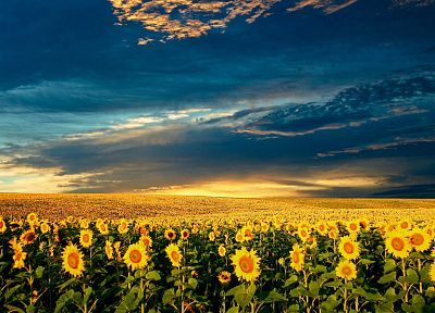 clouds, nature, flowers, garden, meadows, sunflowers - random desktop wallpaper