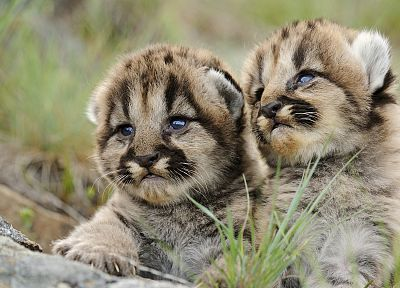 animals, puma, cubs, baby animals - related desktop wallpaper
