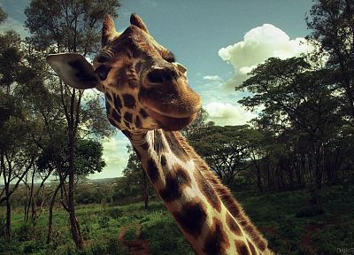 trees, animals, wildlife, surprise, giraffes - related desktop wallpaper