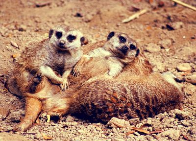 deserts, meerkats - related desktop wallpaper