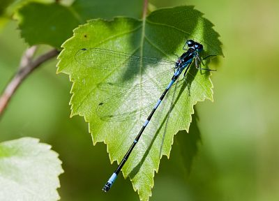 nature, leaf, animals, insects, leaves, dragonfly - related desktop wallpaper