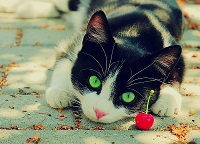 cats, animals, fruits, outdoors, cherries, green eyes - desktop wallpaper