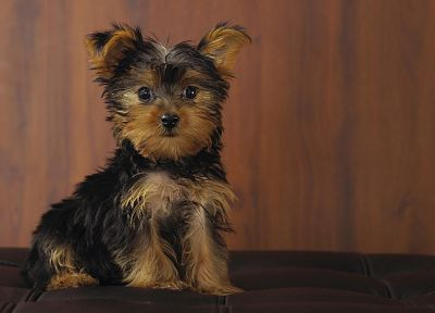 animals, dogs, puppies, Yorkshire Terrier - random desktop wallpaper
