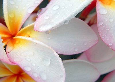close-up, flowers, water drops, flower petals, plumeria - random desktop wallpaper