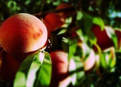 fruits, leaves, peaches, fruit trees - random desktop wallpaper