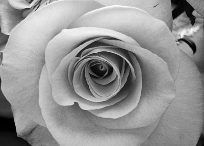close-up, flowers, monochrome - related desktop wallpaper