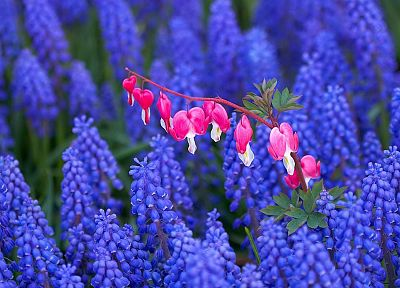 bleeding, Holland, hearts, hyacinths, Bleeding Hearts - desktop wallpaper