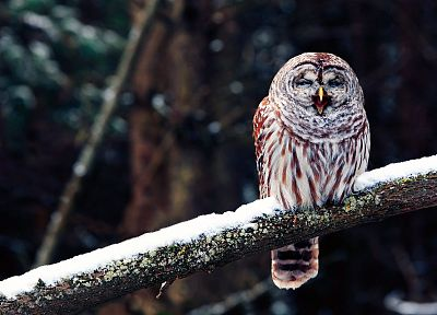nature, forests, birds, wildlife, owls - desktop wallpaper