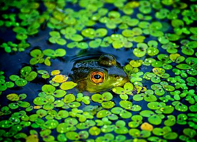 green, ponds, frogs, camouflage, amphibians - random desktop wallpaper