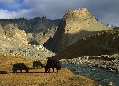 landscapes, animals, yak - random desktop wallpaper