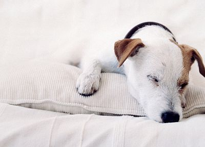dogs, Jack Russell terrier - random desktop wallpaper