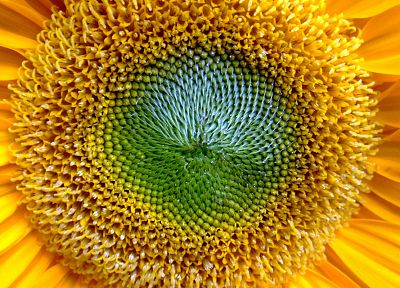 close-up, flowers, sunflowers - desktop wallpaper
