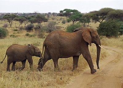 animals, wildlife, elephants, Africa, baby elephant, Wild Africa, baby animals - desktop wallpaper