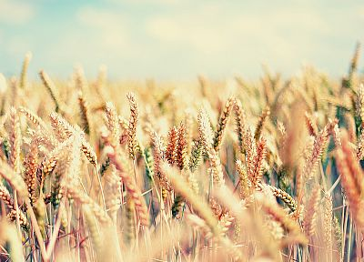 nature, seeds, spikelets - popular desktop wallpaper