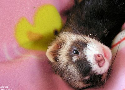 animals, ferret, Ferrets - random desktop wallpaper