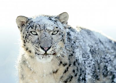 animals, snow leopards - random desktop wallpaper